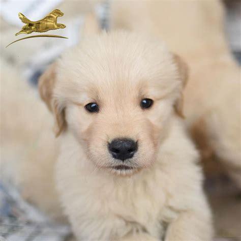 golden retriever venta cachorros golden retriever en venta photo