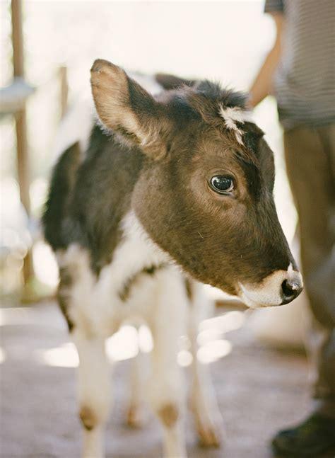 Cheese Calf Dairy Calf In Costa Rica Entouriste