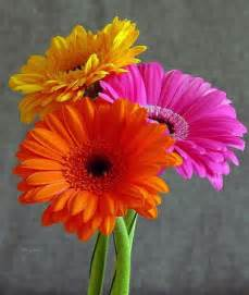 what color are daisies colorful gerber daisies flowers flower