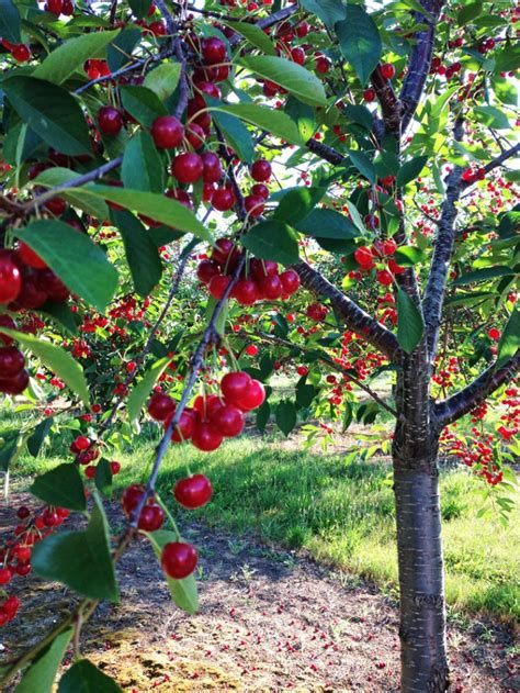 cherry tree planting top 10 easy to grow fruit trees top inspired