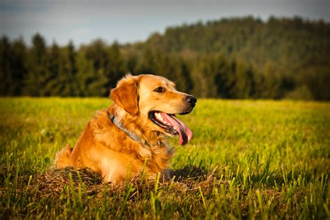 respiratory infection in dogs remedies for treating a respiratory infection in your barkspace