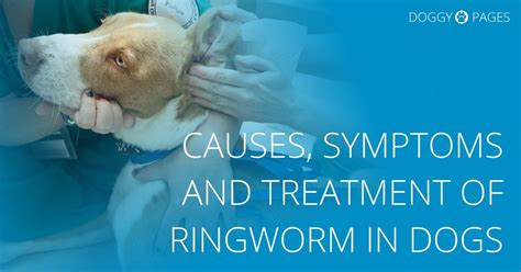ringworm symptoms in dogs the causes symptoms and treatment of ringworm in dogs