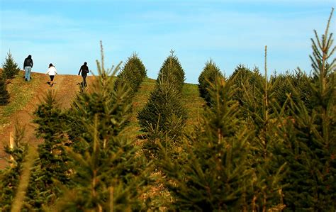 lehigh valley christmas tree farm best 28 pennsylvania tree farms cut where to cut your own tree in