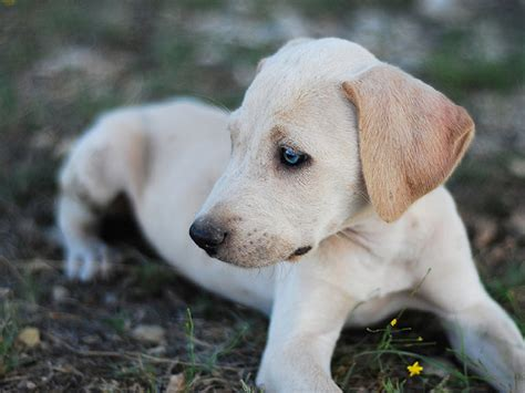 blue lacy puppies blue lacy photo and wallpaper beautiful blue lacy pictures