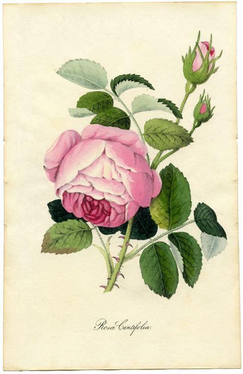vintage printable botanical rose superb  graphics