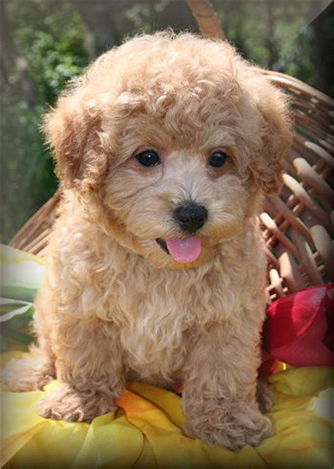 puppies for sale nj maltipoo puppies for sale in new jersey