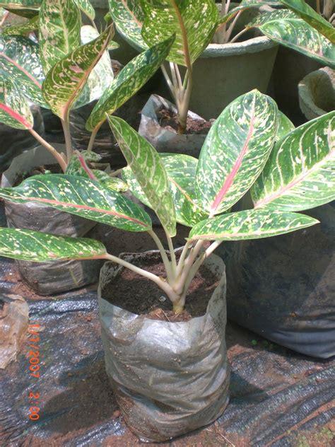 variety  plants aglaonema rotundum plants buy plants