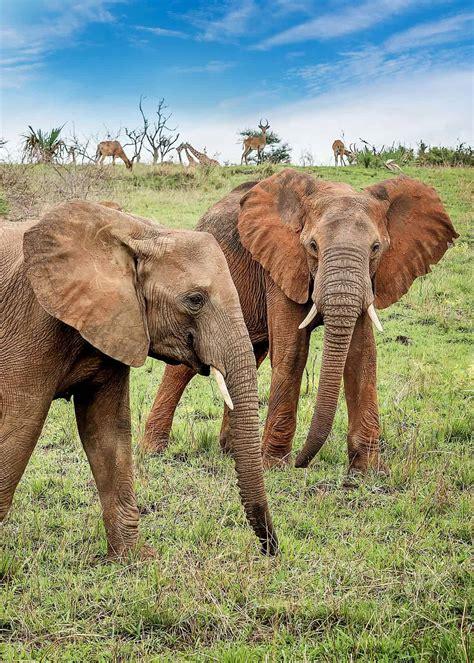 botanical name of elephant 13 facts about bush elephants habitat scientific name range lifespan uganda365