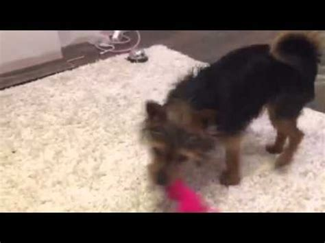 yorkie doing tricks yorkie puppy tiny doing tricks