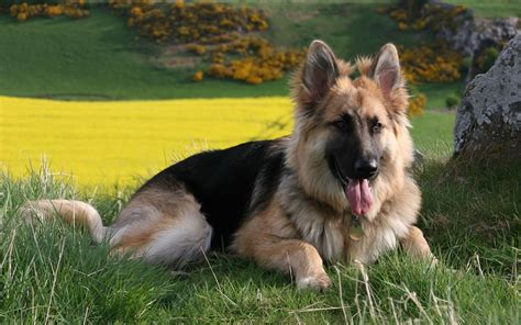 german shepherd dogs german shepherd hd wallpapers 2013 all about hd wallpapers