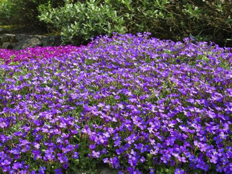 Garten Pflanzen Nicht Winterhart by Blaukissen Pflanzen Und Pflegen Tipps Gartenpflanzen