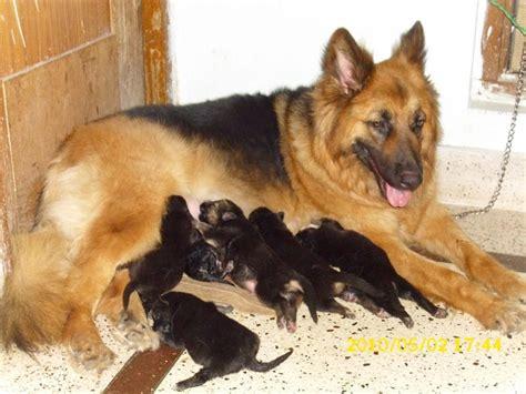German Shepherd Puppies for Sale(Gaurav samuel 1)(8957