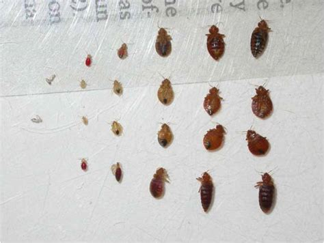 female bed bug depicted here are both male elongated shape and female