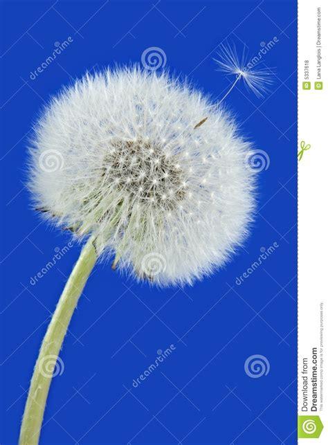 dente di fiore fiore maturo dente di fotografia stock