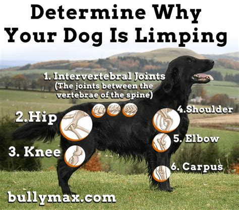 puppy limping back leg is limping leg hurt causes and solutions