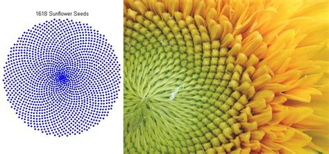 the golden section in nature model a sunflower with the golden ratio file exchange