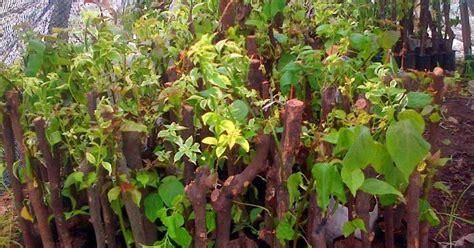 Jual Bibit Bunga Di Malang jual bunga bugenvil jual pohon bugenvil di malang