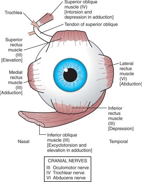 eye muscles diagram muscles and eye movements extraocular eye health