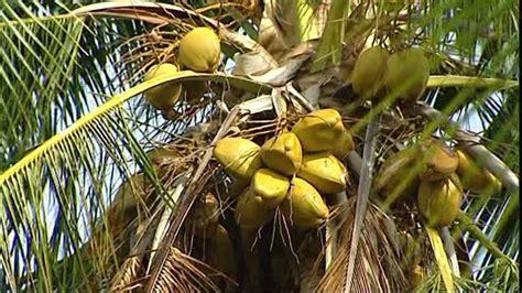 piante palme da giardino pianta palma piante da giardino caratteristiche della