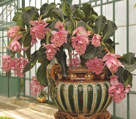 Patio Garden Containers - showy medinilla medinilla magnifica