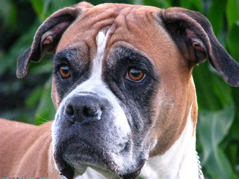 boxer facts boxer health facts