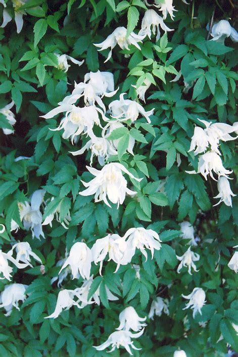 white swan clematis clematis white swan  columbus