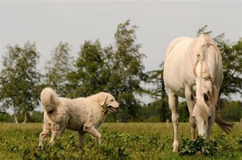 wann ist ein russel ausgewachsen kuvasz hunderasse k