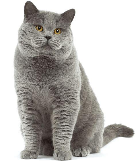 Sho Kucing Paling Murah daftar harga kucing shorthair terbaru september