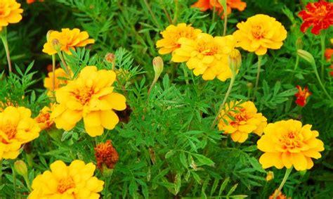 Tanaman Hias Bunga Daylily Kuning cara menanam dan merawat bunga kenikir sebagai tanaman hias pekarangan rumah flora dan fauna