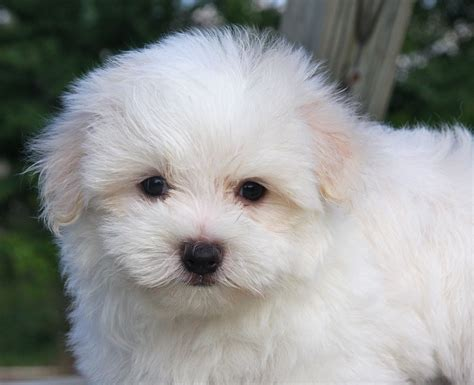 images of maltese puppies maltese mix