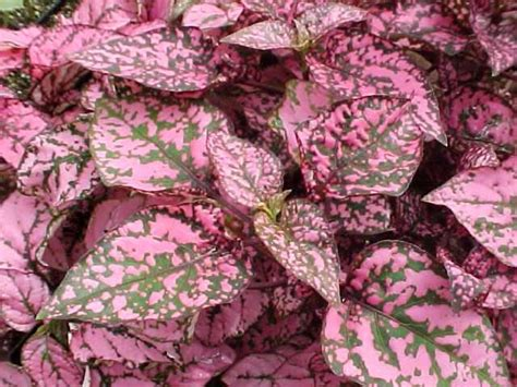 pink foliage plants ten best annuals for shade