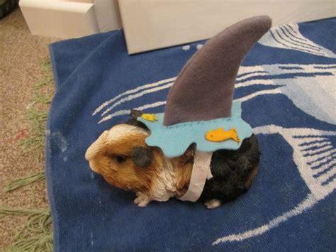 shark costume hedgehog guinea pig guinea pigs shark