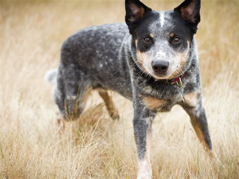 Australian Cattle Also Search For Australian Cattle Australian Cattle Dogs