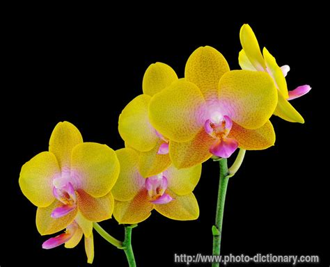 phalaenopsis orchid photo picture definition at photo dictionary phalaenopsis orchid word