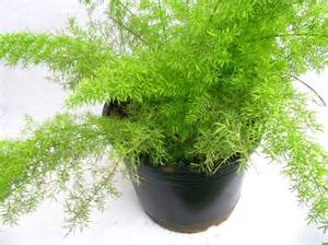 Home Interior Online Shopping India buy asparagus meyeri plant online at best prices in india