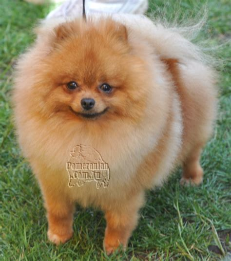 my pomeranian has fleas parks pomeranians pomeranian breed facts care pictures