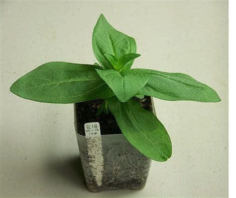 seed starting forum about zinnias favorites pinterest