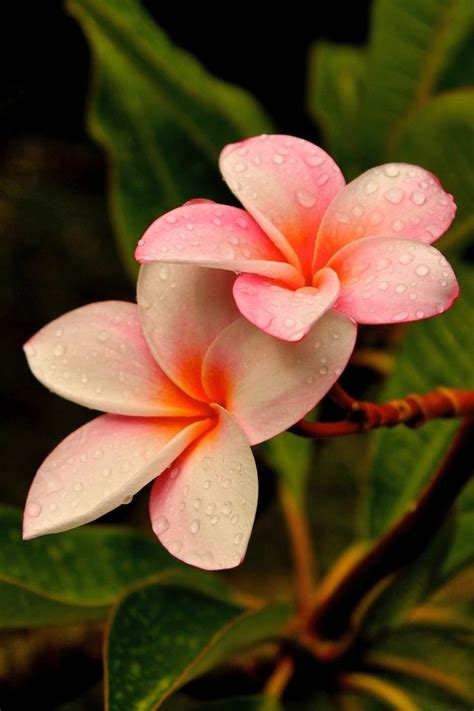 flower pictures 25 best ideas about plumeria flowers on pinterest