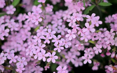 small flower plants small purple flowers 1280x800 wallpaper