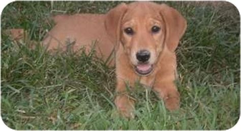 golden retriever afghan hound mix adopted puppy ridgefield ct golden retriever basset hound mix