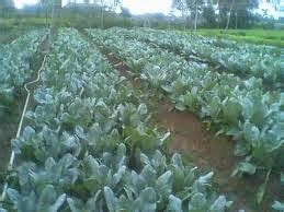 Pupuk Organik Untuk Bunga Kol budidaya kembang kol