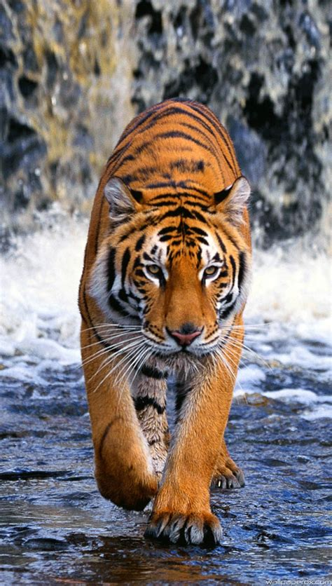 hd wallpaper for android tiger tiger full hd android wallpaperdx com best hd wallpapers