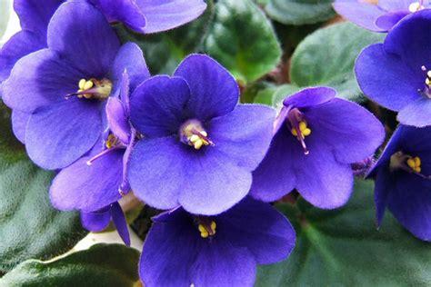 imagenes de rosas violetas como cuidar de violetas lar natural