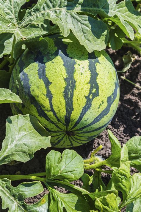 watermelon fertilizer schedule tips  watermelon