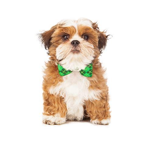 breeders in wisconsin maltese puppies picture wisconsin breeders guide