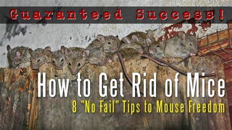 how to get rid of mice in house how to get rid of mice in a house attic apartment garage etc youtube