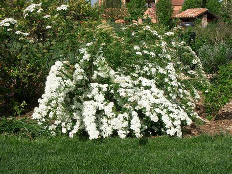 cespugli fiori bianchi spirea il giardino degli angeli