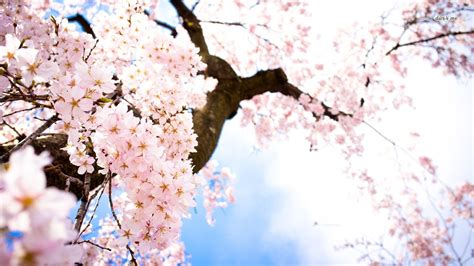 flower blossom wallpaper cherry blossom flower desktop background free download