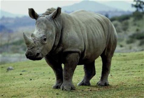 Mammiferi: Rinoceronte bianco - Sapere.it