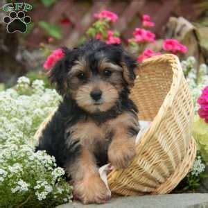 yorkie poo maryland yorkie poo puppies for sale from loving breeders greenfield puppies